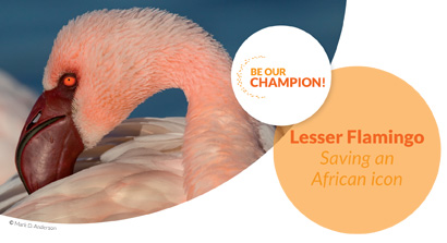 Lesser Flamingo - Saving an African icon