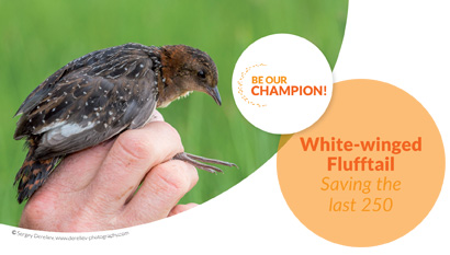 White-winged Flufftail - Saving the last 250