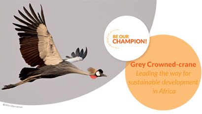 Grey Crowned-crane - Leading the way for sustainable development in Africa