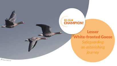 Lesser White-fronted Goose -Safeguarding an astonishing journey